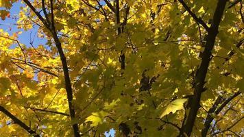 gouden esdoornbladeren op een tak die in de wind zwaait