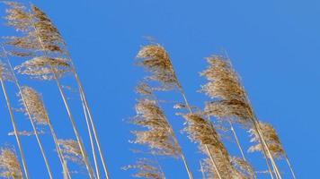 pontas de junco movidas pelo vento video