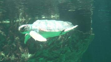 Sea Turtle Breathing Air At Water Surface video