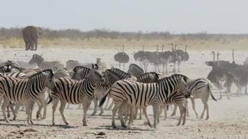 überfülltes Wasserloch mit Zebras und Osrtich