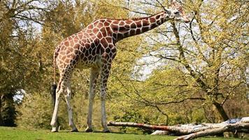 girafa video