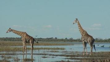girafas no rio chobe