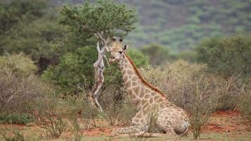 girafa descansando