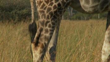 corpo de girafa