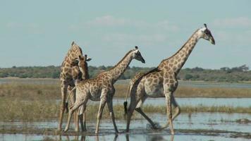 Giraffen laufen