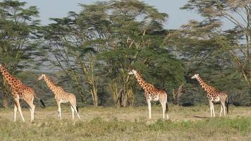 Rothschilds Giraffen