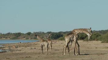 girafas lutando
