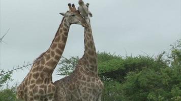 casal de girafas