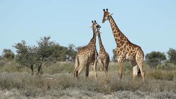lutando contra girafas