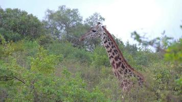 afrikanische Giraffen
