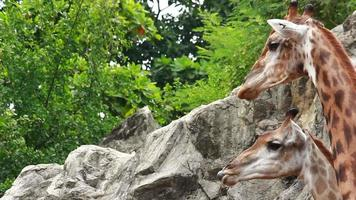 relación jirafa video