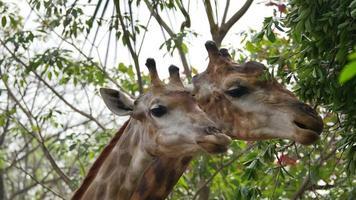 girafa comendo.