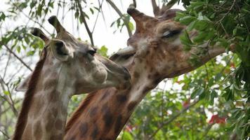 Giraffe eating. video