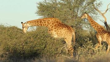 alimentando girafa video