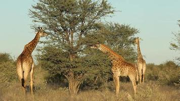 giraffen voeren video