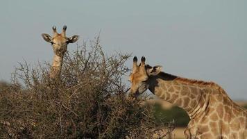 alimentando girafas