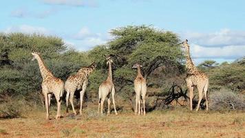 alimentando jirafas video