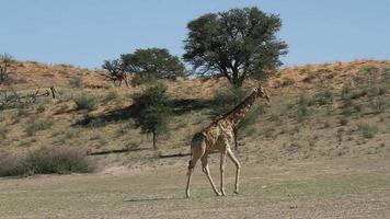 Giraffe zu Fuß