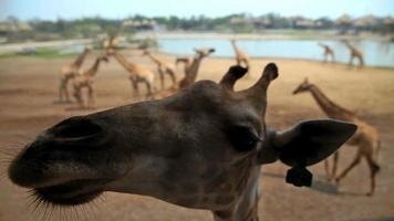 giraffen in dierentuin video