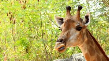 cabeça de girafa video