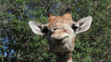 jirafa de cerca