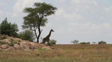 Giraffe in Serengeti video