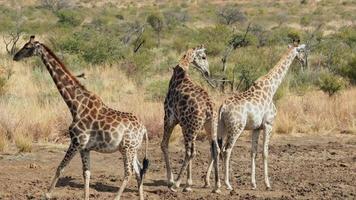 giraffe che camminano verso l'acqua