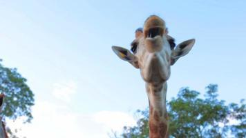 alimentation humaine à la girafe