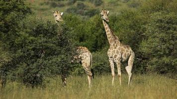 giraffe in habitat naturale