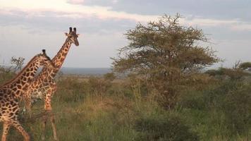 Giraffe, die in Afrika geht