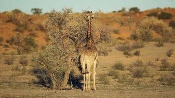 girafa e acácia video