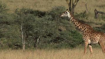 Giraffe walking in Serengeti