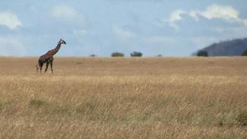 girafa caminhando sozinha no serengeti