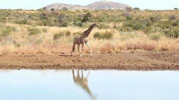 giraffa che cammina verso l'acqua