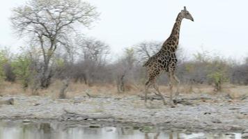 giraffa camelopardalis che beve dalla pozza d'acqua nel parco nazionale di etosha video
