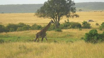 AERIAL SLOW MOTION: African wildlife and game drive in Kenya