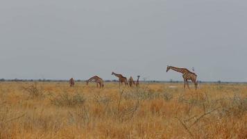Giraffa camelopardalis paissant sur arbre video