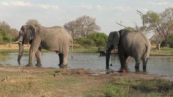 Dos elefantes bebiendo con vehículo de safari turístico en el fondo, Botswana video