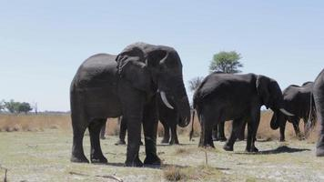 hörte von afrikanischen Elefanten im Caprivi-Wildpark