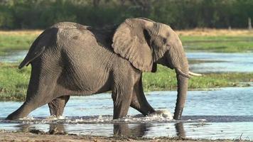 Zeitlupe eines Elefanten, der in das Wasser des Okavango-Deltas geht