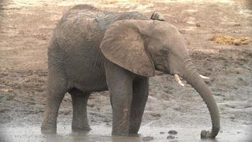Cámara lenta de toro elefante rociando barro, Botswana