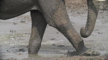 Zeitlupe von Elefantenbeinen, die durch Schlamm, Botswana gehen