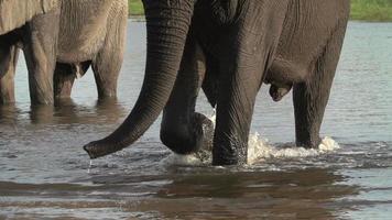 Zeitlupe von Elefantenbeinen, die durch Wasser, Botswana gehen