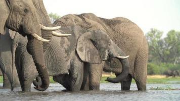 Rebaño de elefantes bebiendo en el río, Botswana
