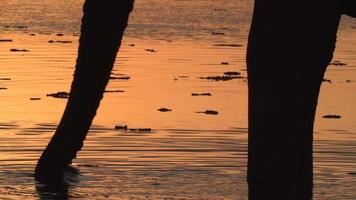 Toro elefante en silueta bebiendo del río al atardecer, delta del Okavango