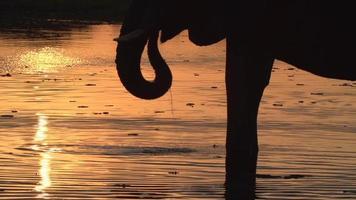elefante touro em silhueta bebendo do rio ao pôr do sol, delta do okavango video