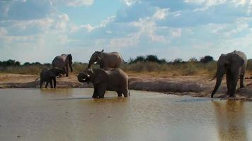 Elephant group entering pool and bathing Africa
