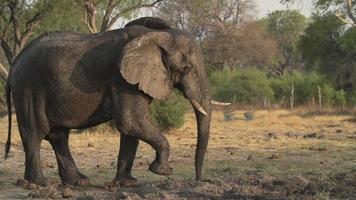 câmera lenta de elefante balançando a cabeça com irritação. video