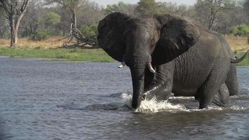 câmera lenta de elefante exibindo postura agressiva. video