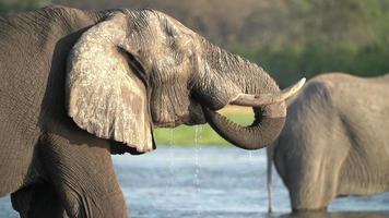 Cámara lenta de toros elefante bebiendo, Botswana